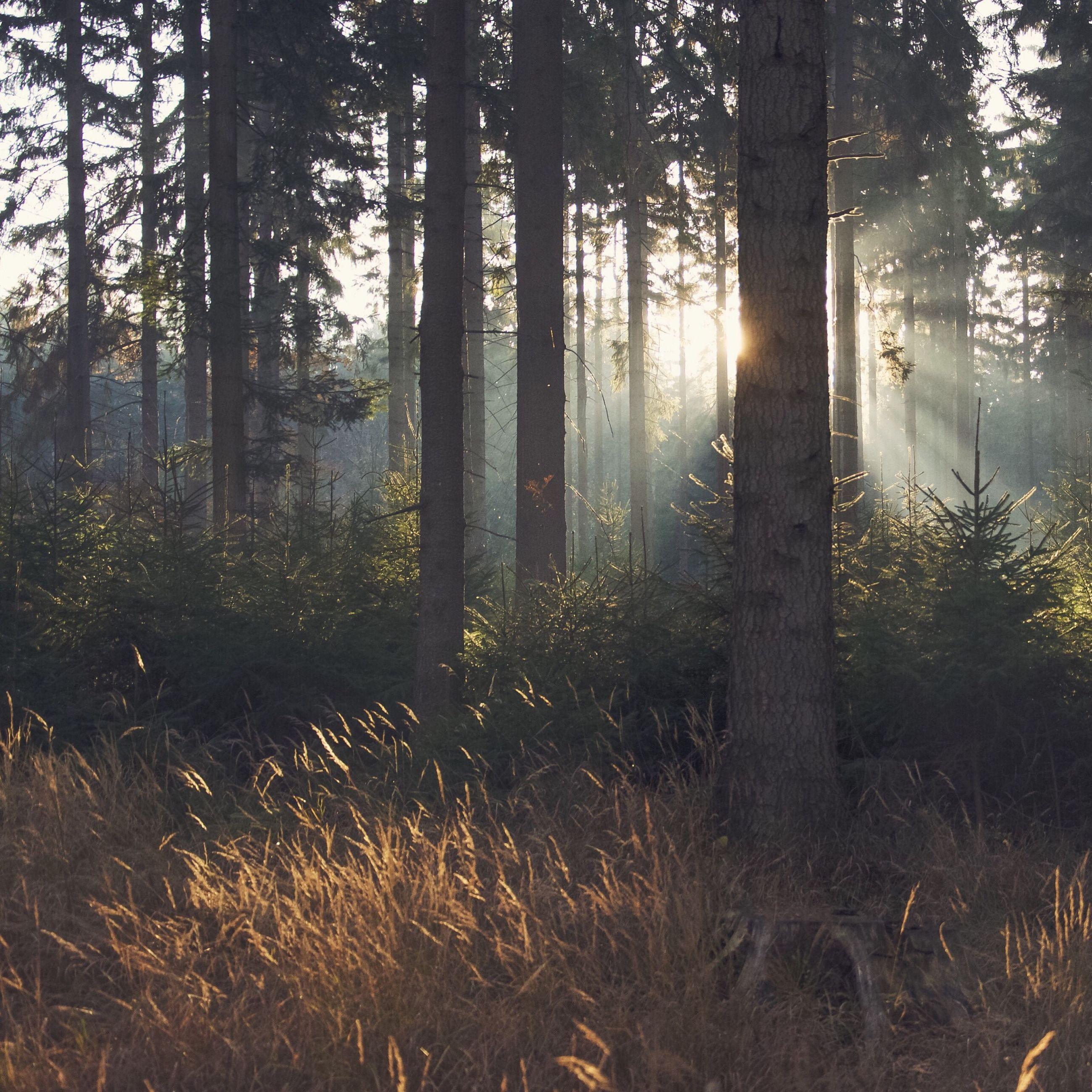 tree, forest, tranquility, tree trunk, tranquil scene, woodland, sun, sunlight, nature, growth, beauty in nature, scenics, sunbeam, landscape, non-urban scene, back lit, lens flare, sunset, idyllic, grass