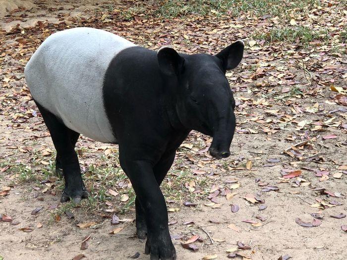 Malayan tapir Extinction Malaysia Tapir Tapir One Animal Animal Themes Mammal No People Field Day Standing Outdoors Nature Close-up
