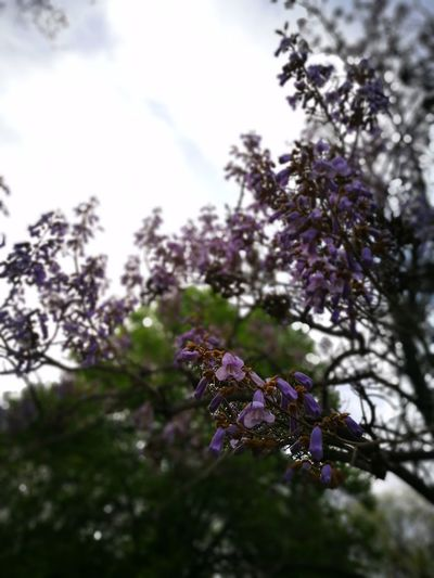 Purple Nature Blossom Tree Beauty In Nature Branch No People Plant Low Angle View Outdoors Springtime Growth Freshness