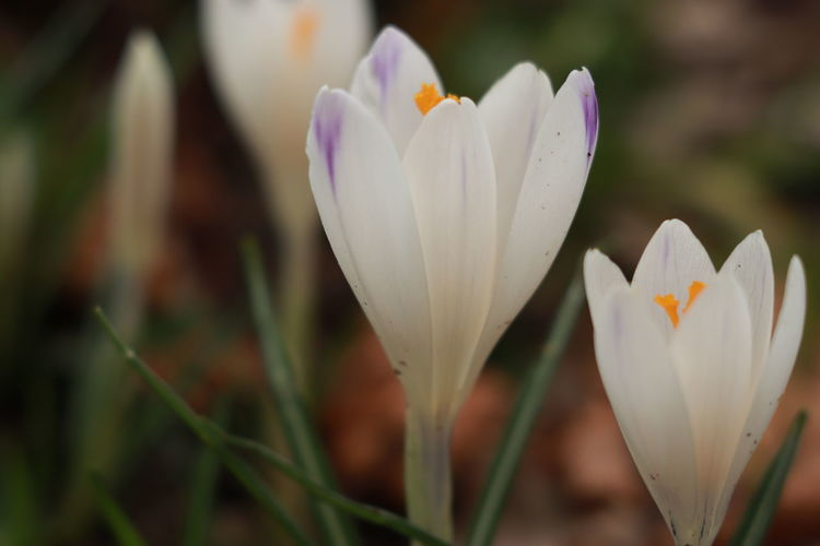 A Filed Of Crocuses Macro Photography Spring Flowers Spring Is Coming  Springtime Blossoms White Crocuses White Flower White Flowers