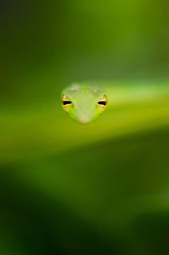 An artistic portrait of a Green Vine Snake using shallow depth of field from the jungles of India. Abstract Animal Eye Animal Themes Animal Wildlife Animals In The Wild Beauty In Nature Close-up Day Eyes Green Green Color Green Vine Snake Indian Wildlife Jungle Nature No People One Animal Portrait Reptile Snake Snakes The Great Outdoors - 2017 EyeEm Awards Wildlife Wildlife Portrait
