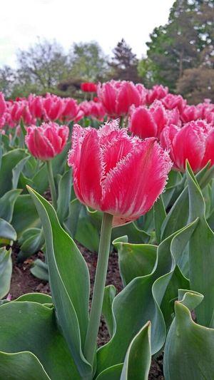 Tulipfestival Ottawa