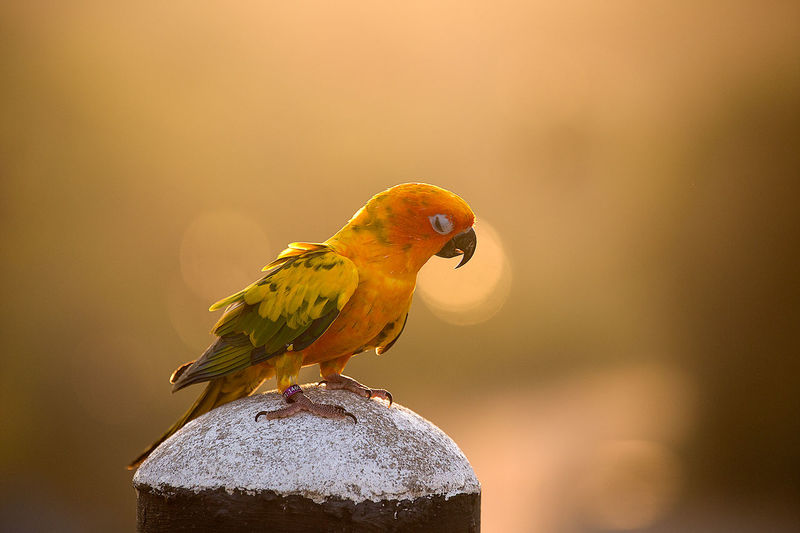 Close-up of jandaya parakeet perching on bollard