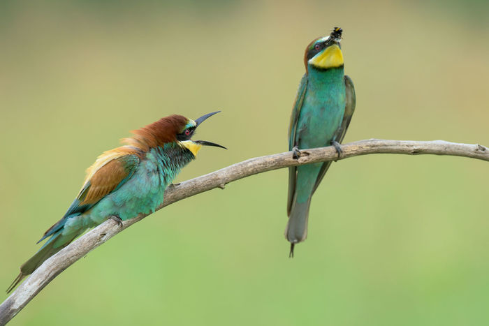 Animal Animal Themes Avian Beauty In Nature Bee-eater Bird Blue Close-up Day Feather  Focus On Foreground Green Green Color Multi Colored Nature No People Outdoors Perched Perching Selective Focus Wildlife