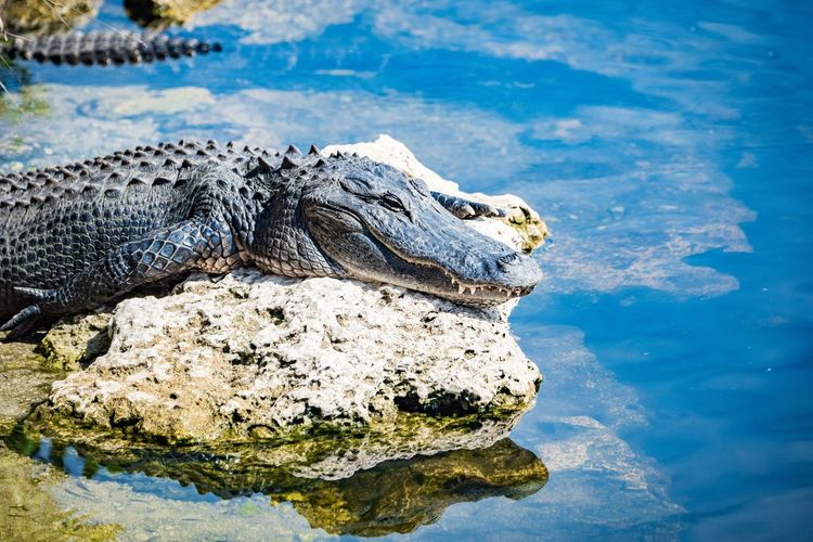 EyeEm Selects Water Animal Animal Wildlife Animal Themes Animals In The Wild One Animal Reptile No People Nature Vertebrate Crocodile Day Close-up Blue Outdoors Animal Head