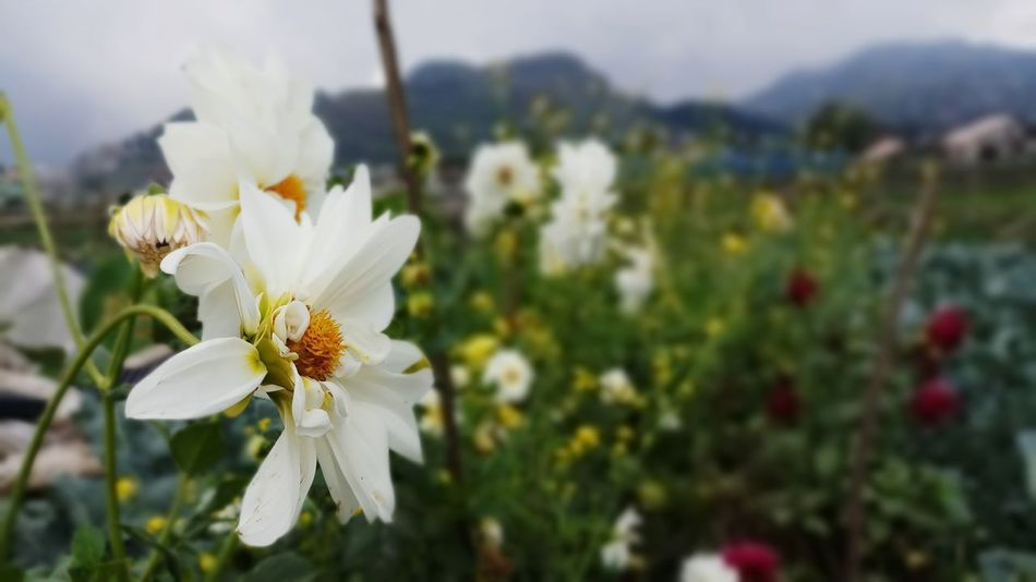 In full bloom. Fresh Air... Mountain Tourism Bestdestinations Discoverphilippines Vacation Nature Beautiful Innocence Purity White Flower Farm Itsmorebeautifulinthephilippines Floral Photography Flowers Wildflower EyeEmNewHere EyeEmReady