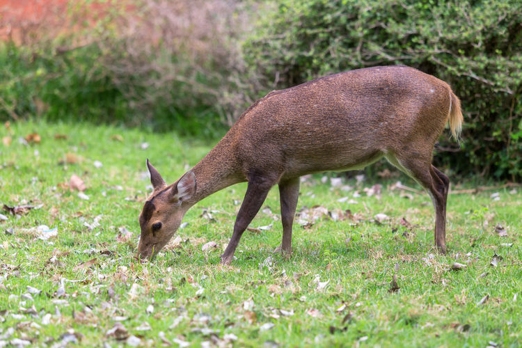 A side view of a whitetail deer in the forest. Animal Animal Themes Animal Wildlife Animals In The Wild One Animal Mammal Grass Deer Plant No People Nature Land Side View Grazing Day Vertebrate Field Outdoors Agriculture Herbivorous Profile View