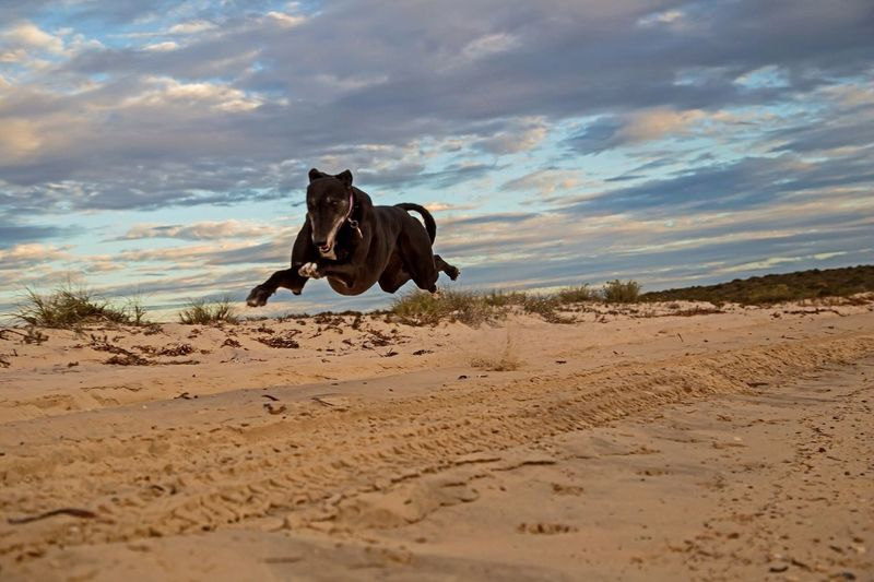 Greyhound Pet Dog Australia