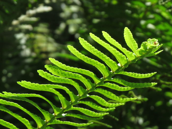 Nature Leaf Leaves Tree Sunlight Day Outdoors Tranquility Pattern Plant Rainforest Fern Growth Freshness Close-up Beauty In Nature No People Natural Pattern Green Color Selective Focus Focus On Foreground Plant Part Aleq Land