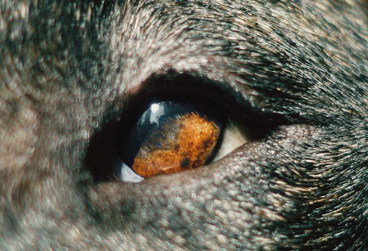 Eyes Eyedog Bullterrier