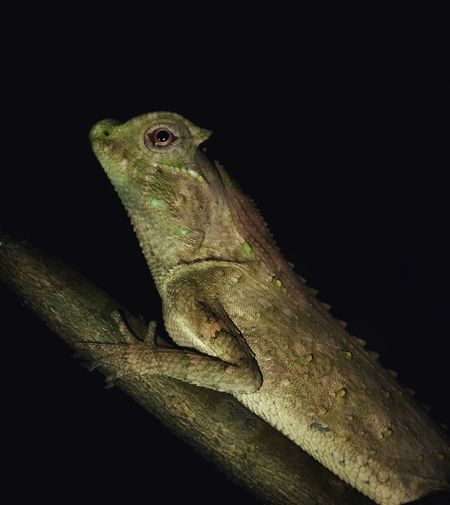 Hump-nosed Lizard Animal Themes Animal One Animal Animal Wildlife Reptile Lizard Vertebrate Black Background No People Night Branch Studio Shot Tree Close-up Nature Animals In The Wild Animal Body Part Animal Head  Chameleon Outdoors Animal Scale Iguana Profile View
