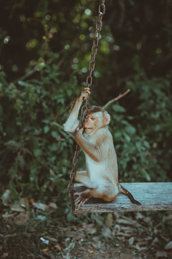Monkey sitting on the swing in forest