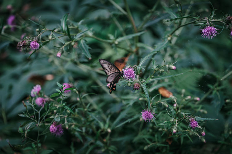 Butterfly pollinating on pink flowering plant