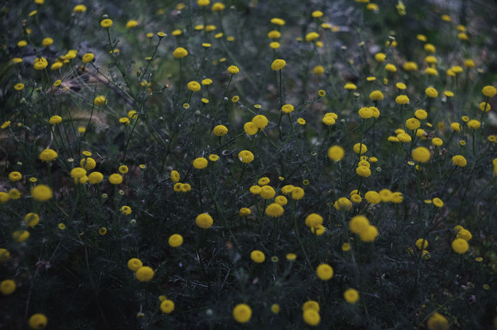 Beauty In Nature Close-up Day Field Flower Flower Head Flowering Plant Fragility Freshness Growth Inflorescence Land Nature No People Outdoors Petal Plant Selective Focus Vulnerability  Yellow
