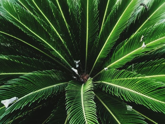 Tree Palm Tree Leaf Frond Backgrounds Full Frame Close-up Green Color Plant Palm Leaf Tropical Tree