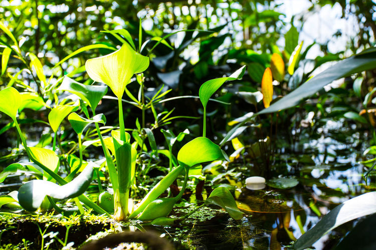 Close-up of lotus water lily leaves in lake