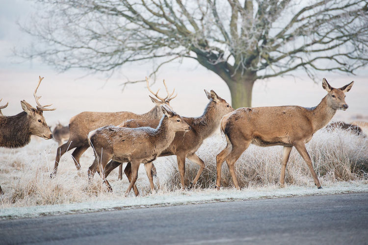 Side View Of Herd Of Deers On Road
