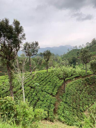 Tea Plantation  Plant Growth Green Color Sky Field Tree Nature
