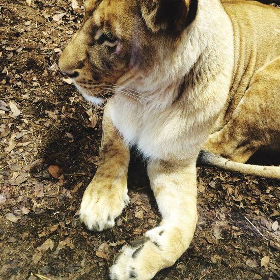 Big Hand Lion