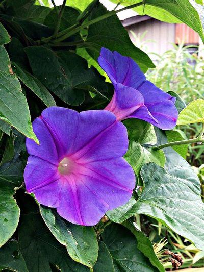 朝顔 野に咲く花の様に