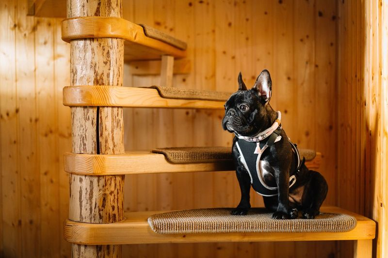 French bulldog looking on spiral stairs