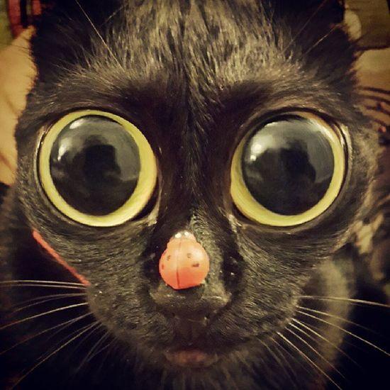 Birde gercekten boyle olsa ne yspardik e.t. kedi ;) Pörtlekgöz Funny Komikkedi Kedigözü Karakedi BLackCat Kedi Cat Catpic CatEye Caturday Fisheye Zeyna