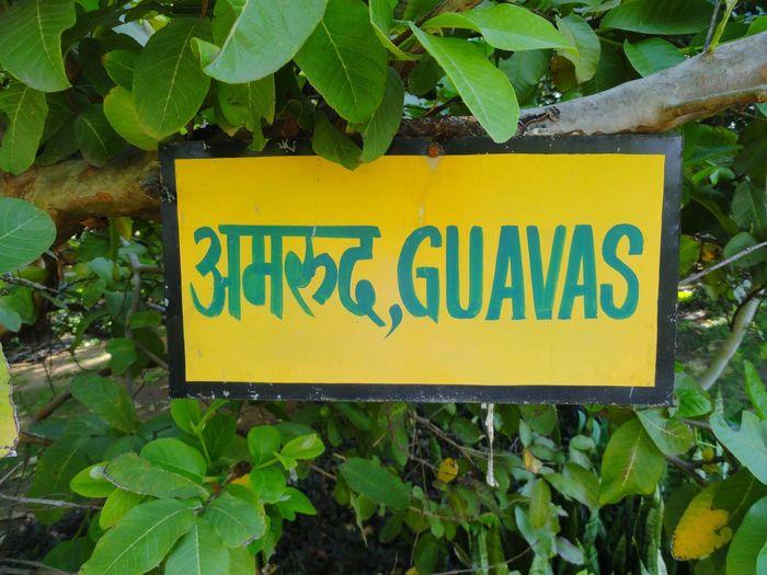 Guava  Guava
