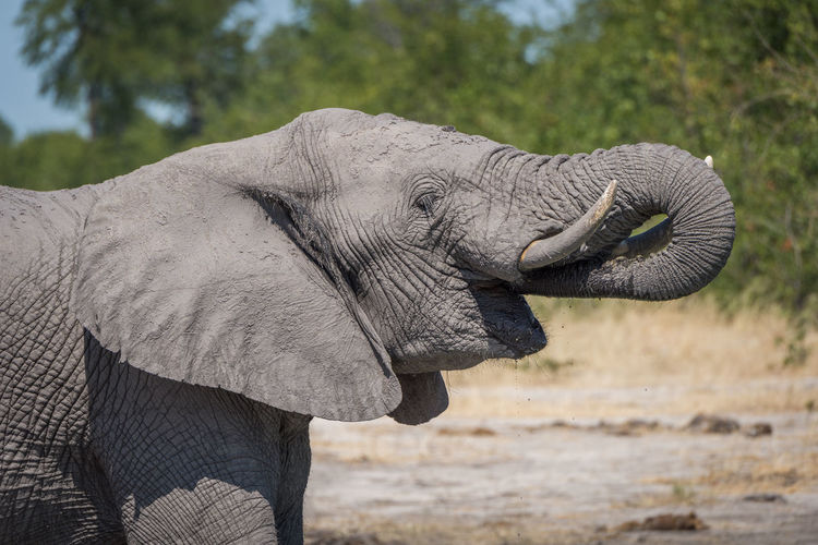 Profile View Of African Elephant Walking In Forest