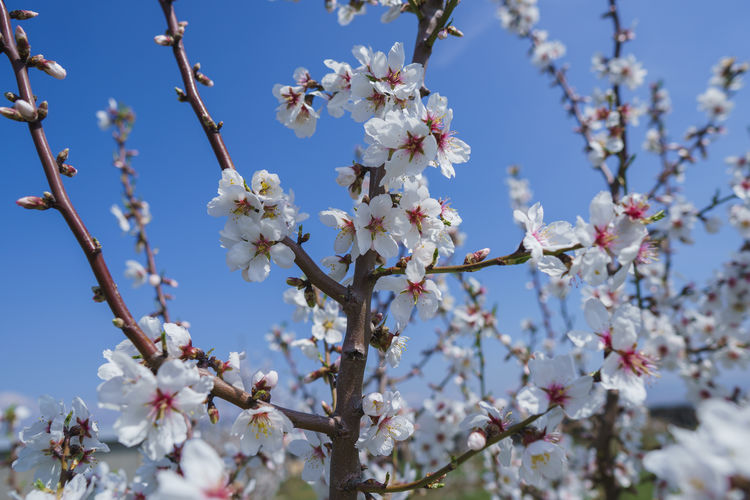 Flower Flowering Plant Plant Fragility Vulnerability  Growth Freshness Beauty In Nature Tree Blossom Branch Low Angle View Day Nature Sky Springtime Close-up Cherry Blossom White Color No People Flower Head Cherry Tree Pollen Outdoors Spring