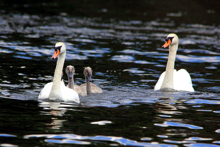 Mute Swans By Cygnets Swimming On Lake