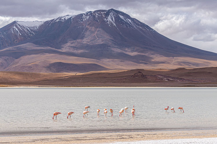 Flamingos wading in laguna canapa, on the bolivian altiplano near the border with chile