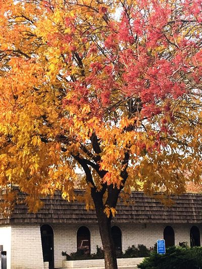 Autumn Change Leaf Tree Orange Color Maple Tree Nature Beauty In Nature Outdoors Day No People Tranquility Scenics Architecture Branch Maple Leaf Building Exterior Maple