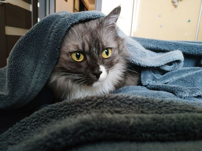 It's freakin' cold here these winter days! Cat Domestic Cat Pet Animal Cold Winter Home Comfort Coziness Cold Weather Plaid Wrap Relax Rest Animal Face Snout Looking At Camera Sleepy Animal Nose Pampered Pets At Home Animal Hair Yellow Eyes Animal Head  Pet Bed Animal Ear