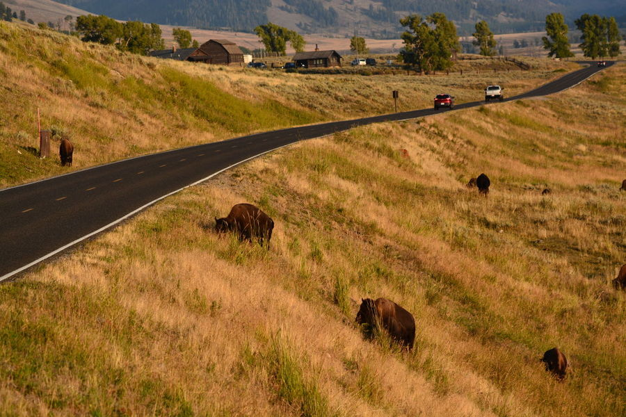 USA Wyoming Yellowstone National Park America American Bison Animal Themes Grass Landscape Nature
