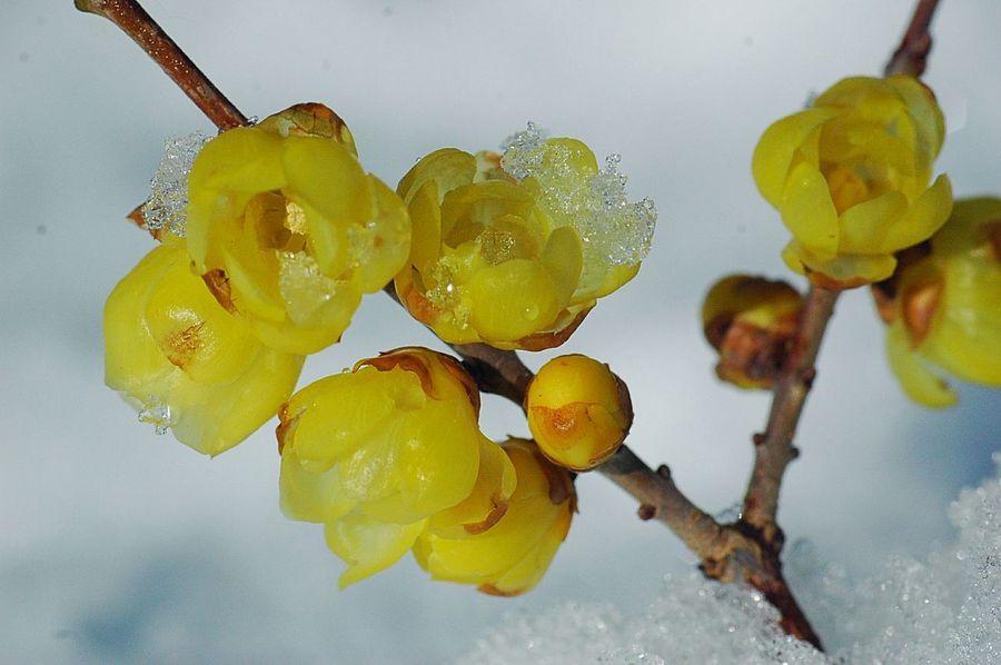 -4度 、今日は大寒。 ロウバイ Winter EyeEm Nature Lover Colors Flower Collection Fleshyplants Hello World Yellow Flowerporn Good Morning Showcase: January Blossom Wintertime Wintermorning Snow