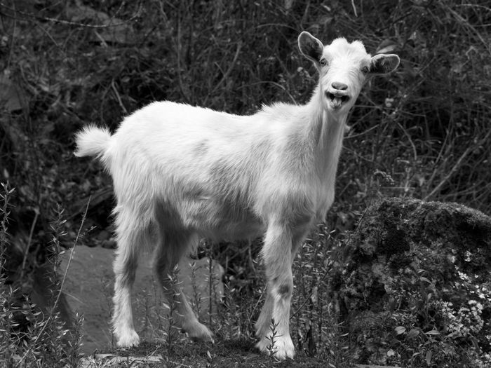 Surprised goat in the Incas' Sacred Valley Animals In The Wild Black & White Goat Peru Tongue Out Animal Themes Grass Nature One Animal