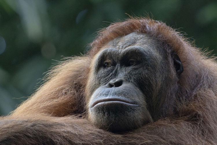Close-up of orangutan looking away