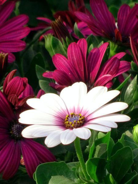 White in red Flower Head Flower Osteospermum Eastern Purple Coneflower Petal Pollen Close-up Plant