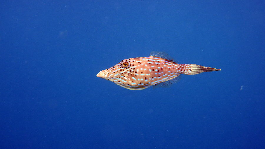Close-Up Of Filefish Swimming In Water