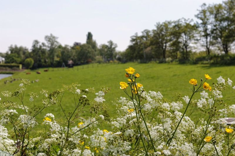 Some Weeks Ago:) Flowers Dutch Landscape