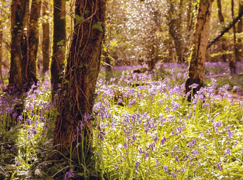 💜 bluebells ! Bluebells Magical Woods Where The Fairies Live Nature WoodLand Bere Forest Wickham Fareham Woodland Walk Ancient Forest Forest Photography Forestry Commission Magic Magical Forest Trees Ivy Creeping Ivy Bluebell Carpet Sunshine Twinkley The Great Outdoors - 2016 EyeEm Awards