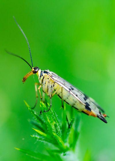 Macro Shot Of Scorpion Fly On Plant