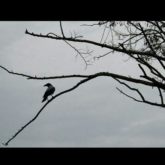 Karga Crow Grey Karaköy Istanbul