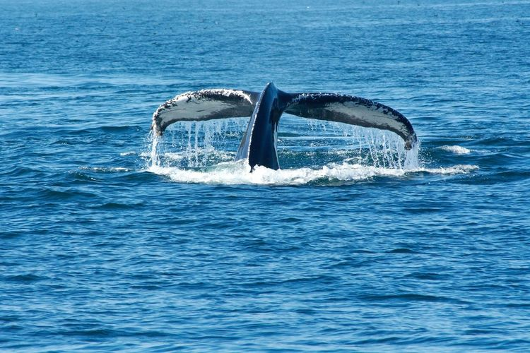 USA 2014 Sea Water Nature Waterfront Whale Blue Animal Themes Beauty In Nature Animals In The Wild One Animal Aquatic Mammal Animal Wildlife Horizon Over Water Swimming Outdoors Mammal No People Splashing Sea Life Humpback Whale