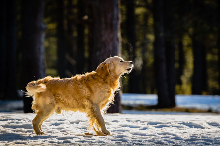 Animal Animal Themes Barking Dog Cold Temperature Day Dog Domestic Animals Forest Full Length Golden Retriever Goldenretriever Mammal Nature No People One Animal Outdoors Pets Tree Pet Portraits