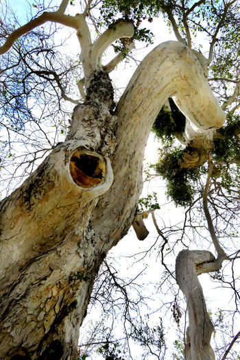 Gazing up at my beautiful tree... Bark Branch Human Tree Low Angle View Nature Old Outdoors Sky Sunlight Tree Weathered
