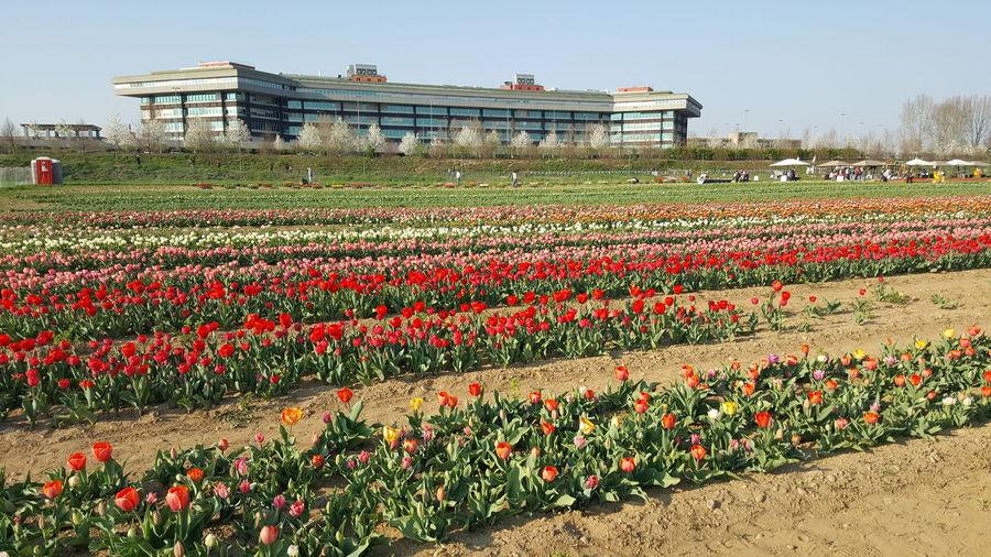 tulip camp