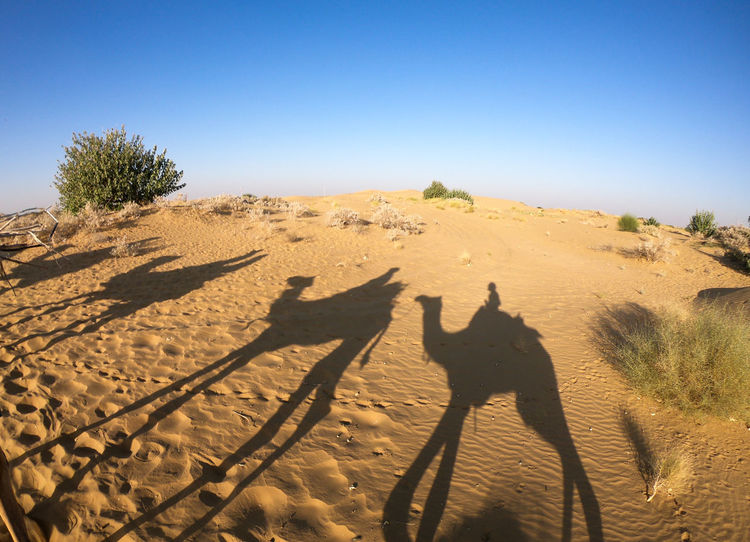 Desert India Sheepherd Travel Arid Climate Camel Camels Desert Focus On Shadow Jaisalmer Obrigado Outdoors Rajasthan Sand Sand Dune Shadow Sheep Sunlight Sunset Thar Desert