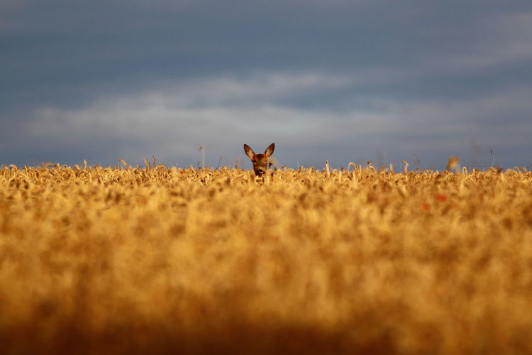 Deer on field against sky