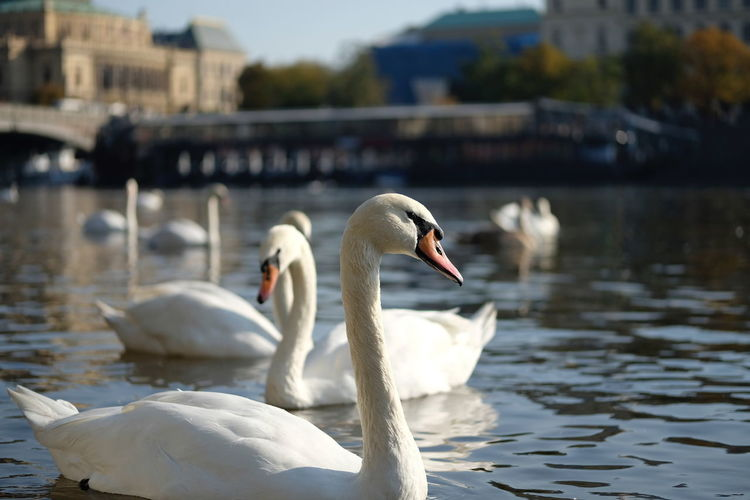 Swan Animals In The Wild Animal Wildlife Bird Animal Themes Animal Water Vertebrate Group Of Animals Lake Focus On Foreground Swimming Water Bird Nature Two Animals Day Mute Swan White Color Zoology No People Animal Neck Floating On Water Cygnet